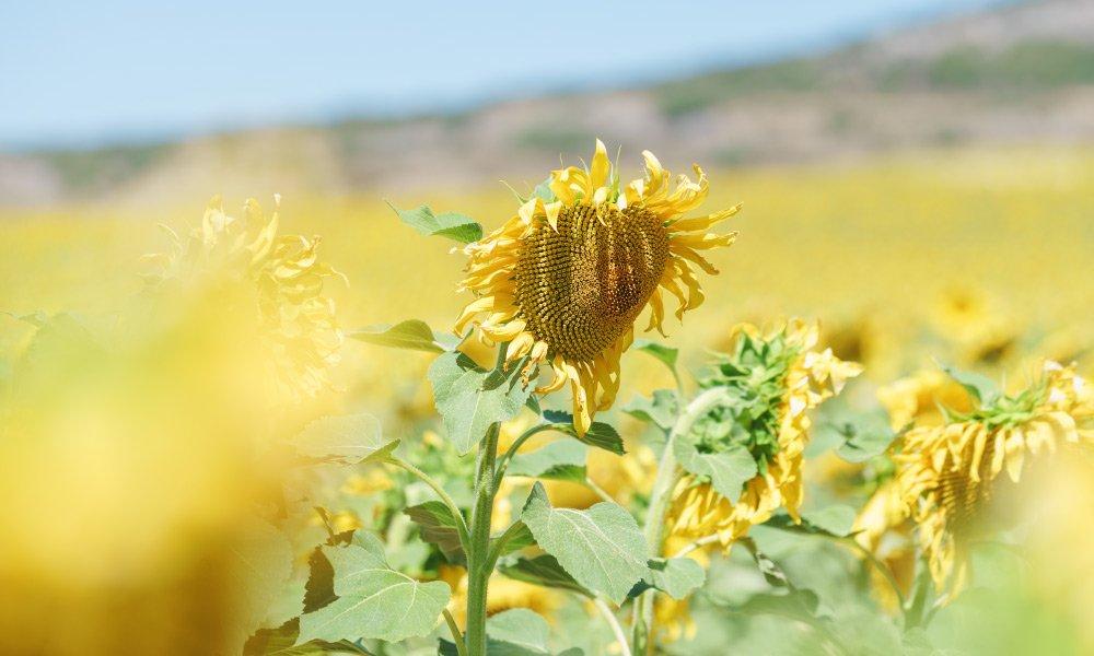 🌻 Propiedades del aceite de girasol alto oleico | Gullón