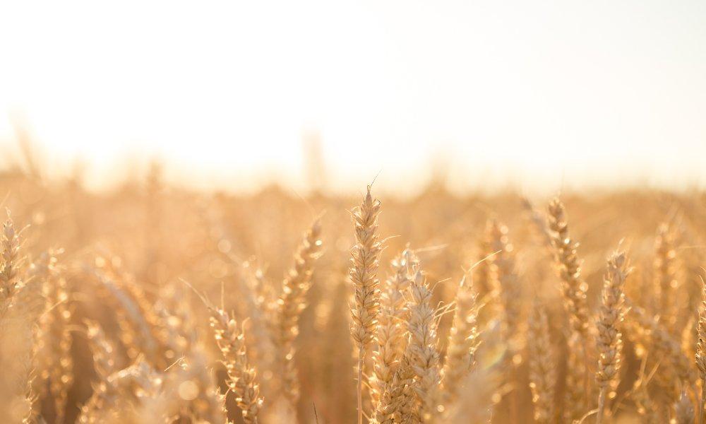 Propiedades de los cereales integrales | Galletas Gullón